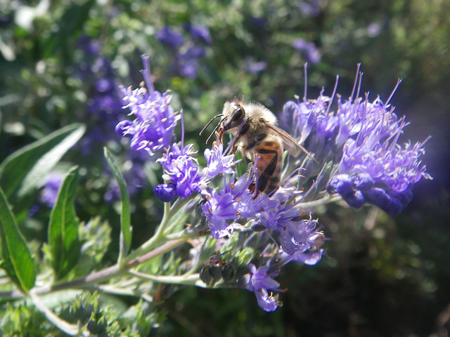 Honeybee on Caryopteris