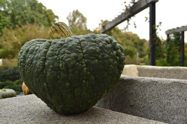 Cucurbita moschata 'Black Futsu' is an unusual Japanese cultivar. Its dark green, almost black skin turns chestnut-colored when it's stored. Its flesh is golden and tastes like hazelnuts. Photo by Blanca Begert.