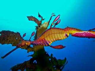 Weedy Sea Dragon with Eggs