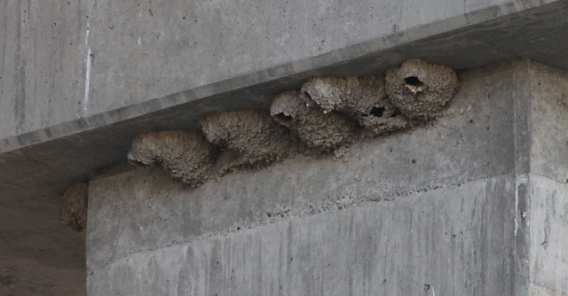 IMG_2873 Cliff Swallow mud nests