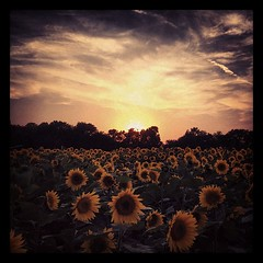 Day 312: Sunflower Sunset  #photo365 #photoaday #kansas