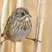 Seaside Sparrow by YernaforSterna