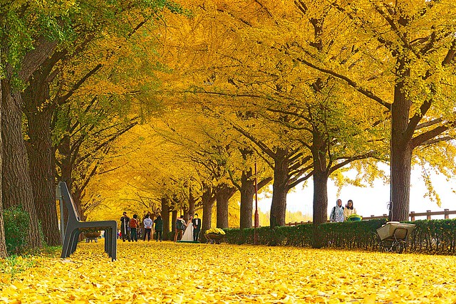 Asan-si South Korea  city photos : Asan Gingko Tree Road by travel oriented