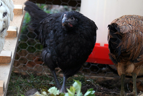 penny -  a black australorp chicken IMG_5448