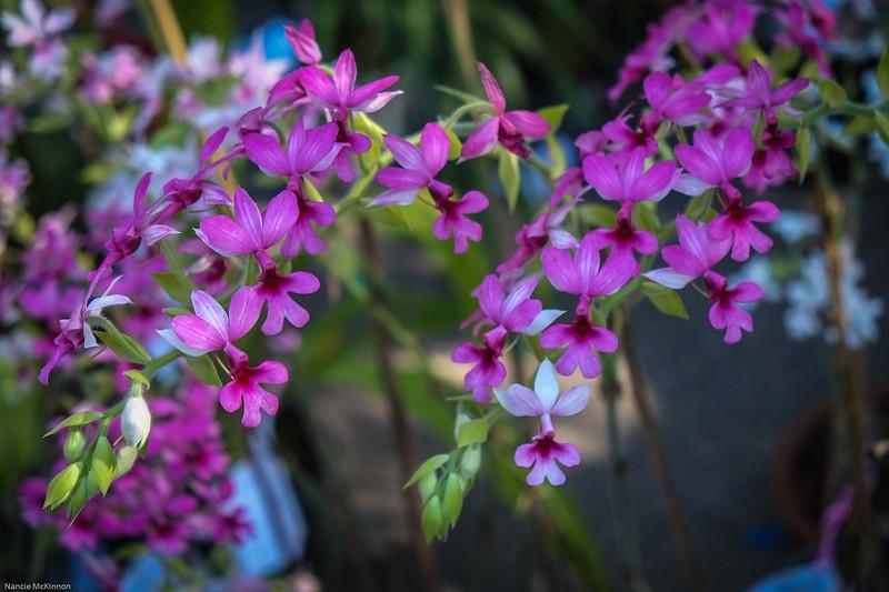 Pink Minature Thai Orchids