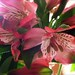 Small photo of Alstroemeria