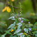 Small photo of American bellflower