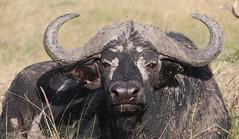 texas longhorn(0.0), muskox(0.0), bison(0.0), cattle-like mammal(1.0), animal(1.0), water buffalo(1.0), bull(1.0), working animal(1.0), mammal(1.0), horn(1.0), fauna(1.0), safari(1.0), wildlife(1.0),