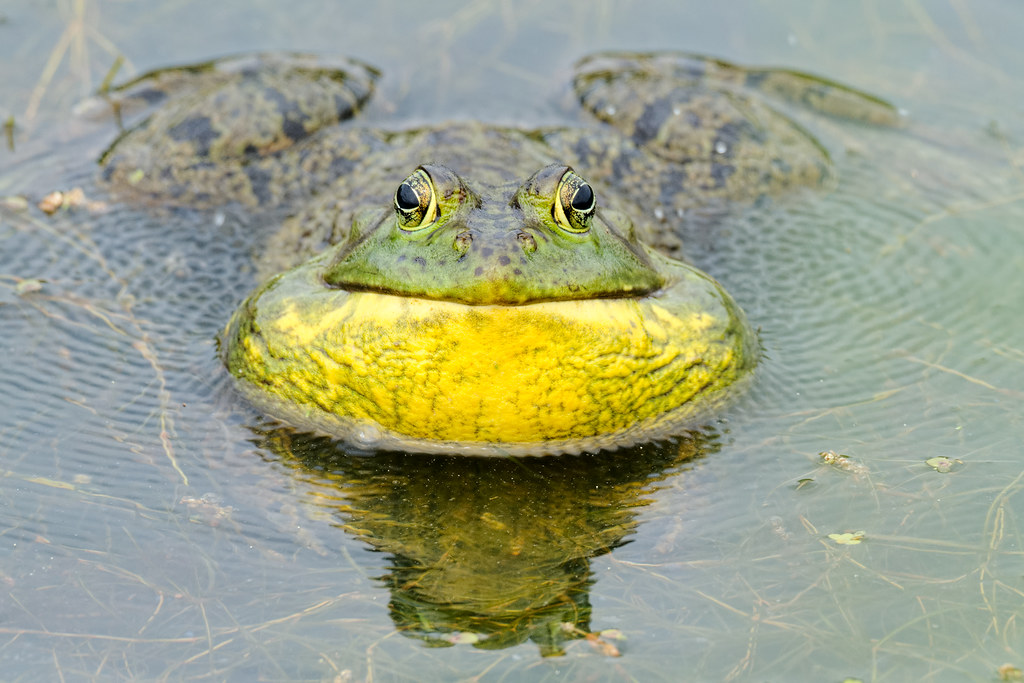 A male bullfrog croaks and creates ripples in the water