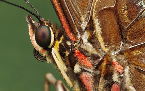 pentax k3 pentaxdfa100mmf28wrmacro raynox dcr250 butterfly papillon caligosp papillonchouette montréal québec papillonsenliberté butterfliesgofree 2017 botanicalgarden jardinbotanique insect macro lepidoptera