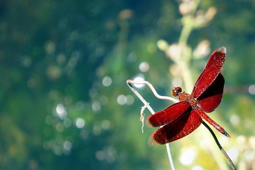 還是紅蜻蜓 - 交大荷花池