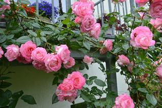 Noch mehr Rosen in meinem Garten