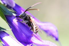 Bee? Mimic?