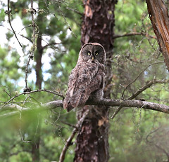 hawk(0.0), animal(1.0), bird of prey(1.0), branch(1.0), owl(1.0), fauna(1.0), beak(1.0), great grey owl(1.0), bird(1.0), wildlife(1.0),