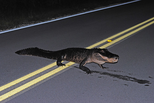 A report on the biological perspective of the american alligator
