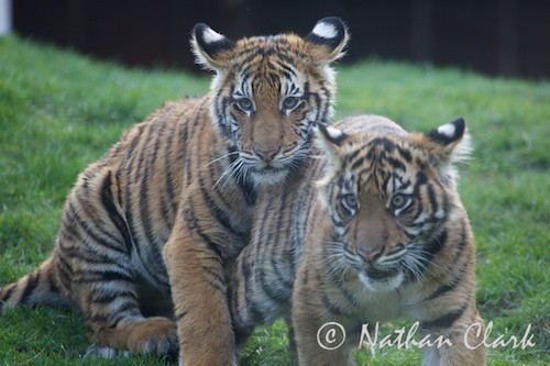 Tiger Cubs Playing