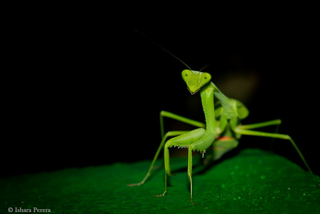 The Green  Praying Mantis