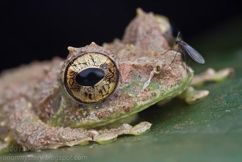 Mossy Tree Frog (Philautus macroscelis) IMG_1345 copy