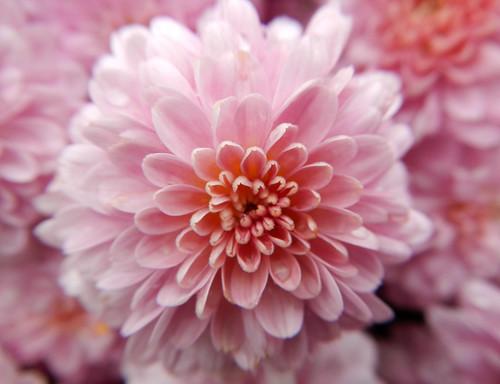 pink mums in Naramata