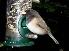 Dark-eyed Junco at feeder