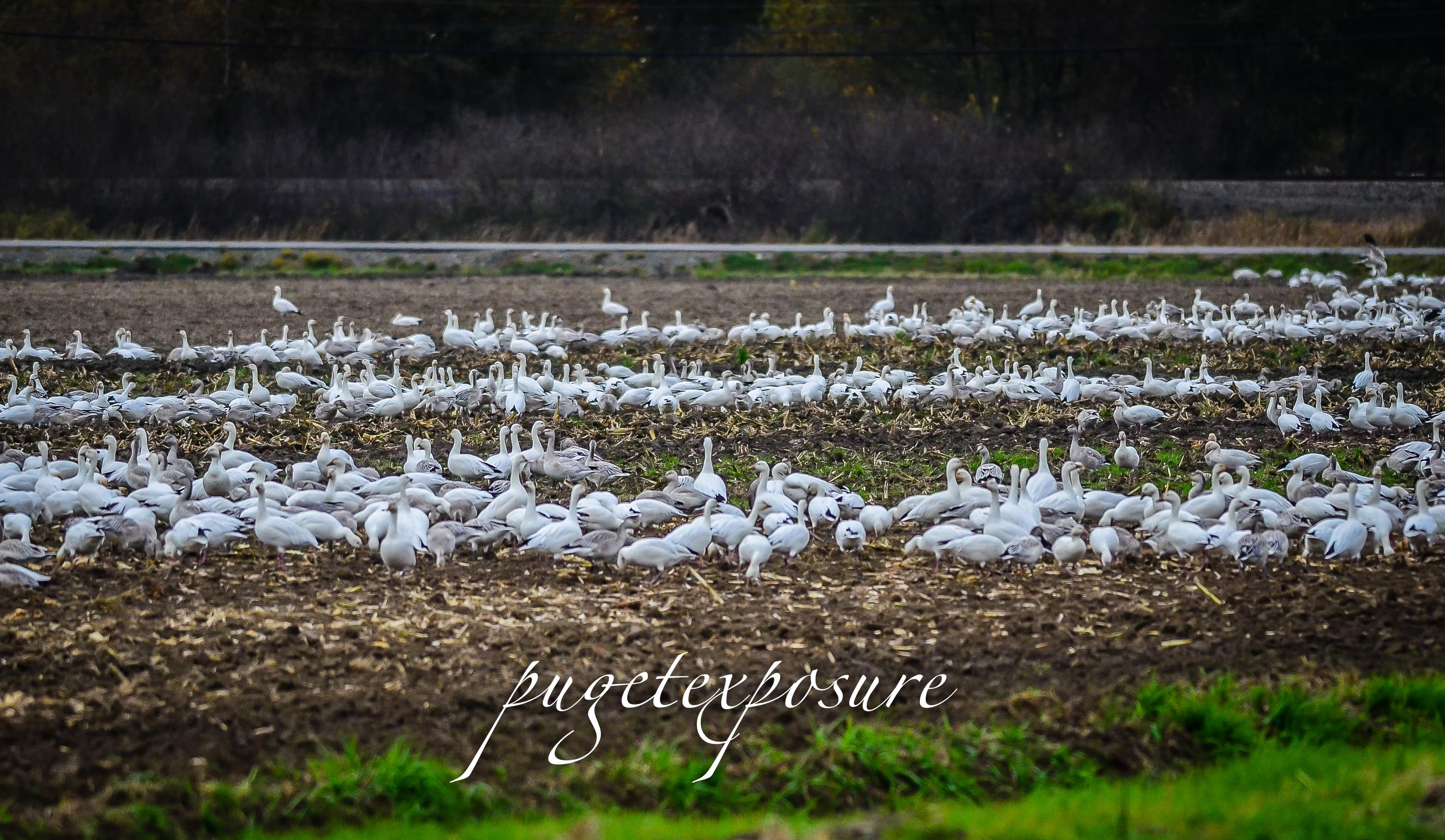 Snow Geese arrive in Mount Vernon, WA October 2013