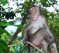 tufted capuchin(0.0), squirrel monkey(0.0), capuchin monkey(0.0), spider monkey(0.0), white-headed capuchin(0.0), animal(1.0), monkey(1.0), mammal(1.0), fauna(1.0), old world monkey(1.0), new world monkey(1.0), jungle(1.0), macaque(1.0), wildlife(1.0),