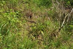 現在僅存於較陡斜坡之紫苞舌蘭生育地。(圖片來源:特有生物研究保育中心)