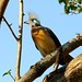 Crested Coua, Kirindy (Stephen Woodham)
