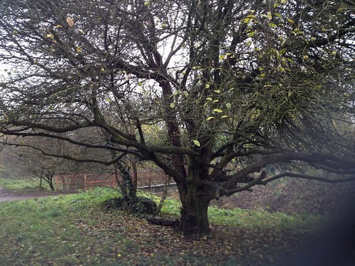Apple tree in Chorlton Water Park