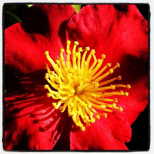 Camellia blossom | A Gardener's Notebook