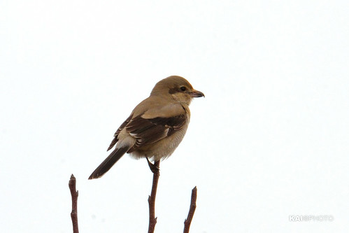 northern_shrike01