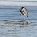 Heron Preening_42663.jpg