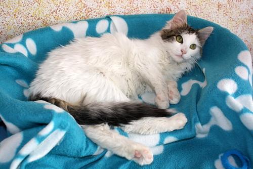 Neus, gata blanca cruce Van Turco pelo largo nacida en Julio´13 en adopción. Valencia. ADOPTADA. 12027910505_ea56690aac