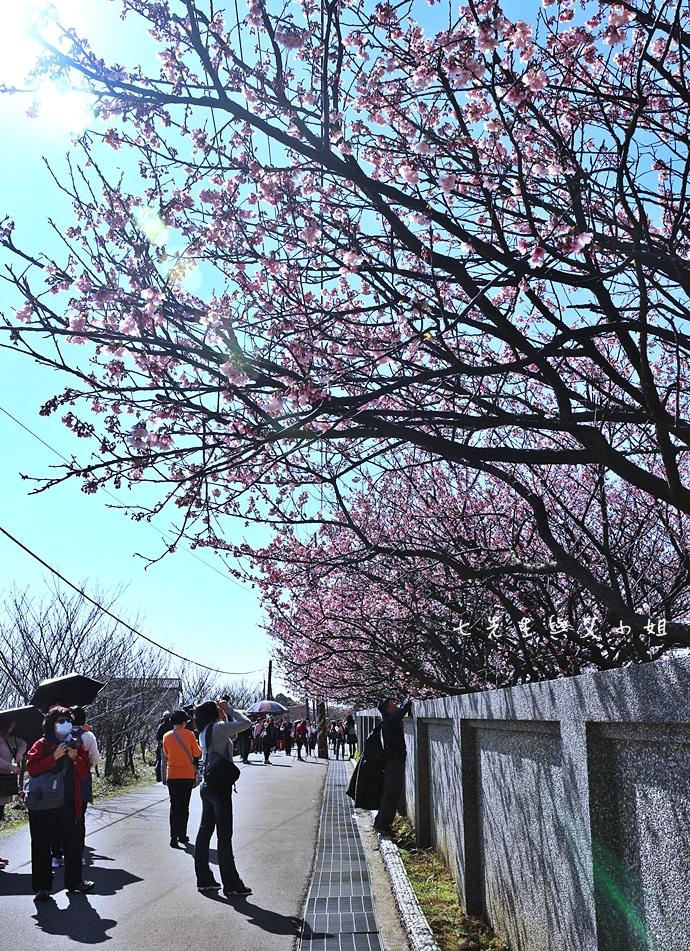 19 平菁街42巷櫻花