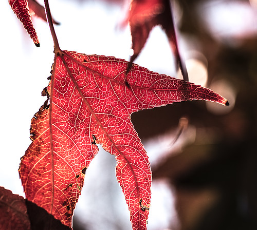 sun-illuminated leaf by joeeisner