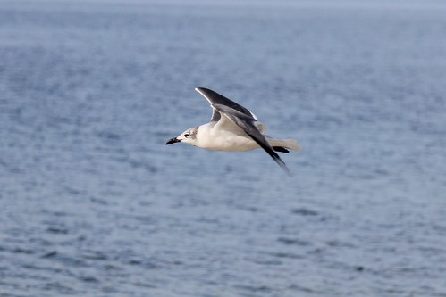 IMG_3567_Gull_in_Flight