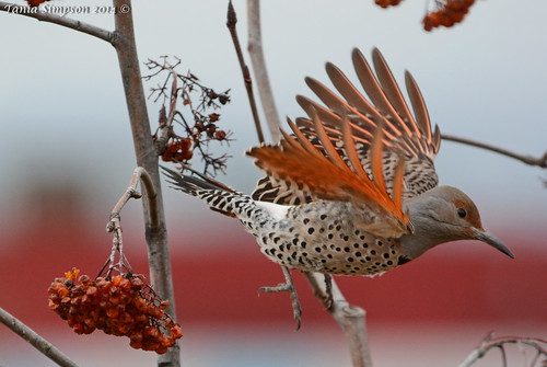 Female Red-shafted Northern Flicker (Colaptes auratus)