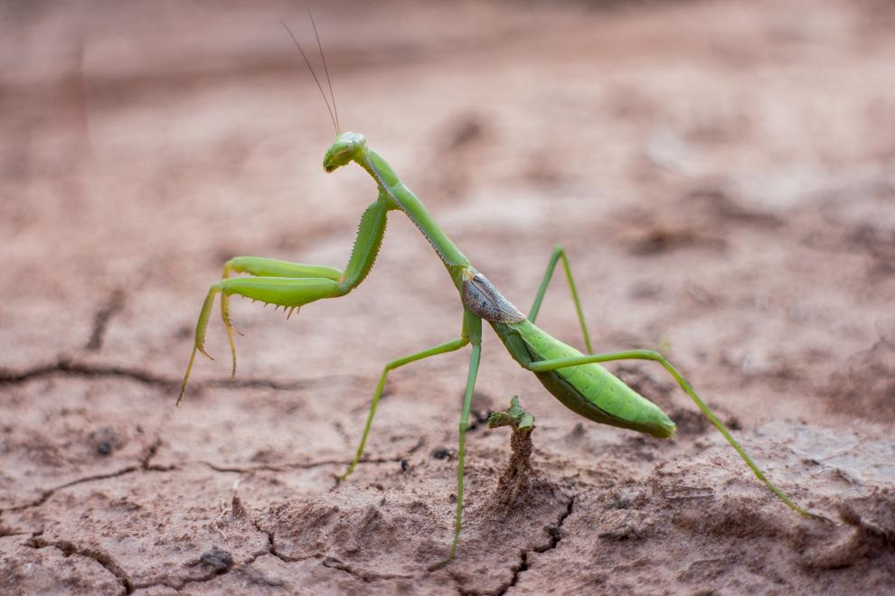 La Mantis religiosa, capaz de imitar a una rama o las hojas de las plantas con el objetivo de emboscar a su presa. (Tetsu Espósito)