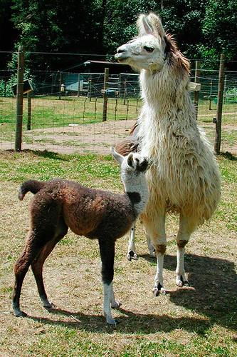 Llama Ben and mother Primrose on a Llama Farm in Victoria, Vancouver Island, British Columbia, Canada