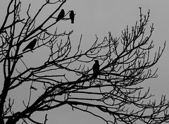 A Murder of Crows # Wales #dailyshoot