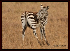 COMMON ZEBRA FOWL (Equus burchelli).....NAIROBI NAT.PARK......OCT 2013