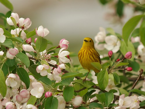 Posing In The Crabapple Blossoms