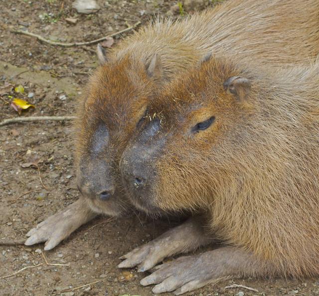 Capybara Cuddles