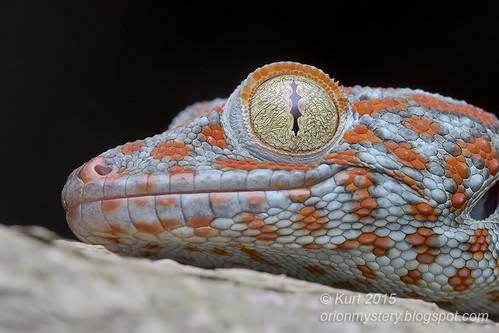 Tokay Gecko - Gekko gecko_MG_0944 copy