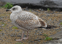 Herring Gull 1st winter