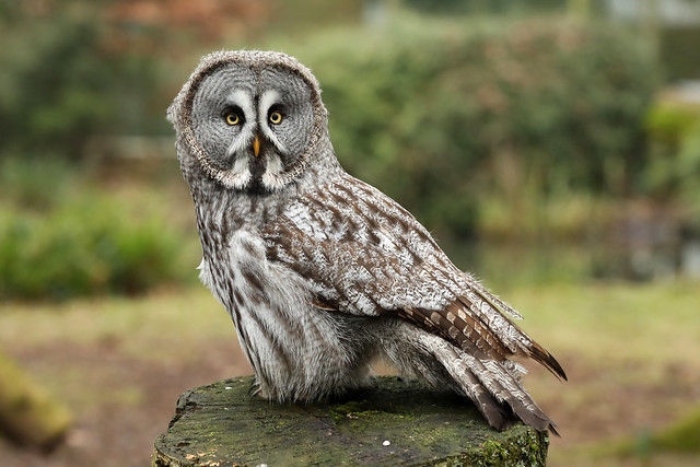 Great Grey Owl bird photo call and song/ Strix nebulosa