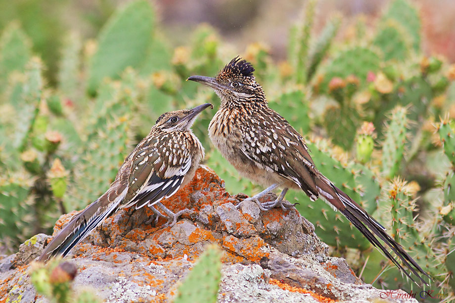 Greater Roadrunner 050513-04