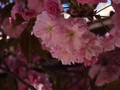 金, 2013-04-26 17:50 - Roosevelt Islandの桜