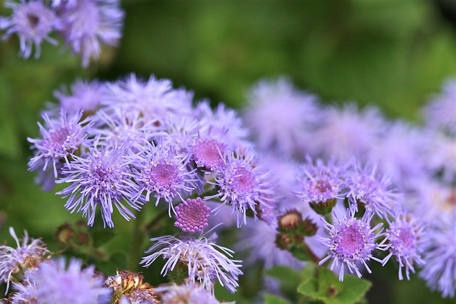 Flossflower (Ageratum houstonianum) in Chicago's Andersonville neighborhood. Credit: Bill Guerriero