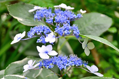 lilac(0.0), blossom(0.0), forget-me-not(0.0), shrub(1.0), flower(1.0), hydrangea serrata(1.0), plant(1.0), lilac(1.0), wildflower(1.0), flora(1.0),